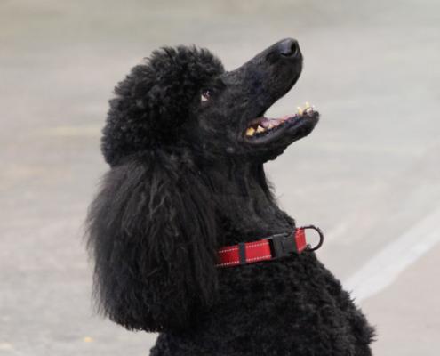 NatureMaker poodle